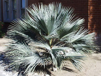 Mexican Blue Palm